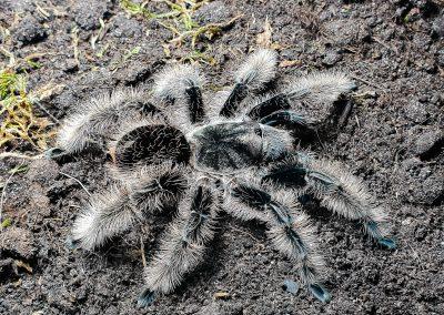 Brachypelma albopilosum nicaragua