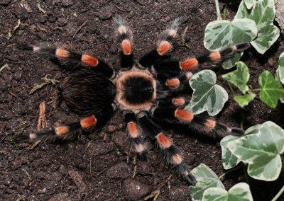 Brachypelma smithi (ex. annitha) 3