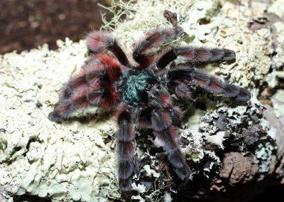 Caribena versicolor 6