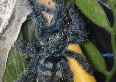 Caribena versicolor 8