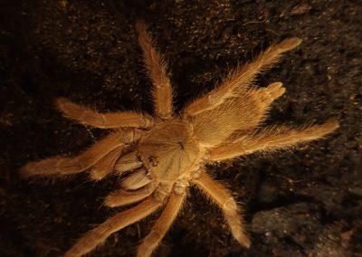 Chilobrachys spec. Thailand