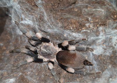 Haplocosmia himalayana
