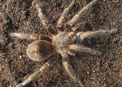 Homoeomma sp. Peru